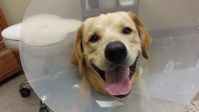 Charlie, a yellow Lab, was found after four days in the woods in Fairview Township.