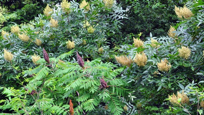 Smooth sumac and winged sumac stud roadside fields, and flaunt their different times of bloom in this photo. Winged sumac is just blooming as the smooth sumac in the foreground has already bloomed and formed clusters of reddish drupes, providing winter food for birds.