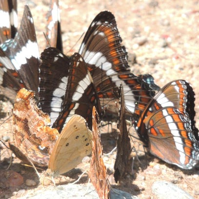 A gathering of colorful white admirals, commas, an