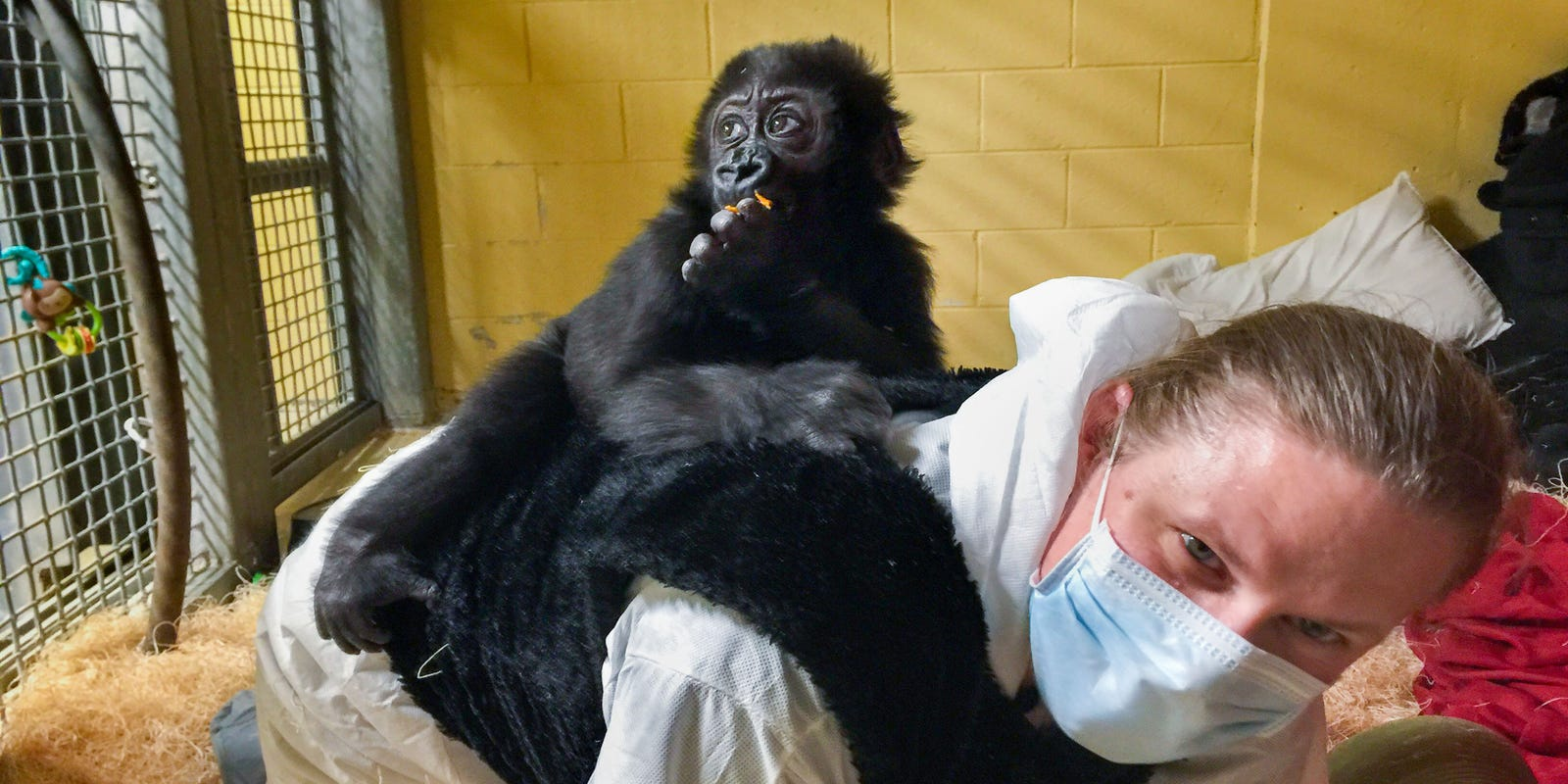 85b1f44539b4 Zookeepers rise to challenge of caring for orphan after gorillas die