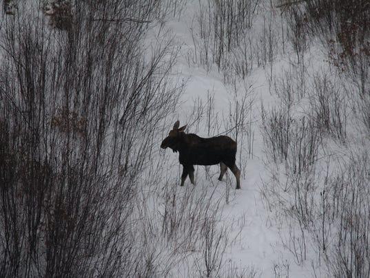 Moose in the Adirondacks