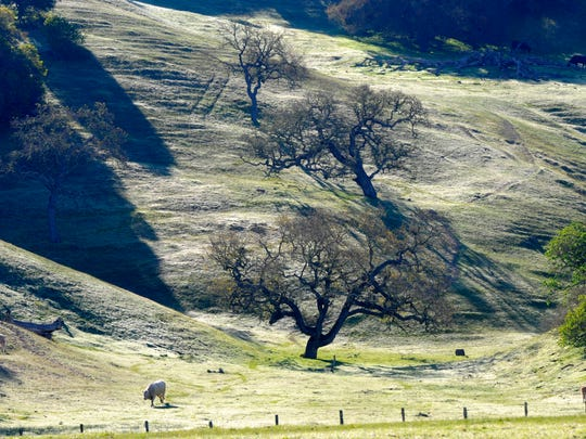 Cattle enjoy the lush winter growth on the hills of Mount Toro outside Salinas.