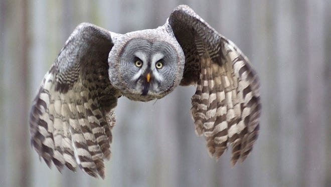 Great gray owls are impressively large residents of the boreal landscape. They find suitable habitat all around the top of the globe, from northern Minnesota, to Oregon, Finland, and Russia.