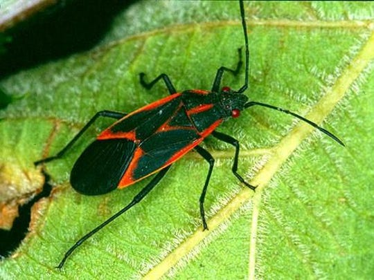 Asian lady beetles, boxelder bugs (photo) and crickets typically visit homes that provide easy entry as they seek refuge from changing weather.