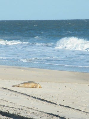 This first seal of the year was spotted resting on the Ocean City Beach Jan. 12, 2016.