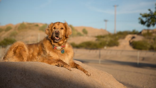 Betty Boop a four-year-old Golden Retriever claims a dirt mound found at the Las Cruces Dog Park on Wednesday July 6, 2016.