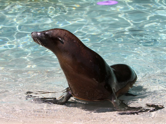 Jackson, NJ - Six Flags Great Adventure's new sea lion pup Kona. Kona is the park's fifth sea lion. The mother, Anoki, successfully delivered her first pup under the careful observation of the park's veterinary and animal care teams at Seafari Theater in the park;s Golden Kingdom section.