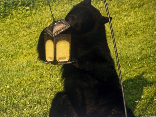 Robin Seymore, a resident of Racetrack Road in Berwick Township, took pictures of the bear that appeared in the back of her house June 9.