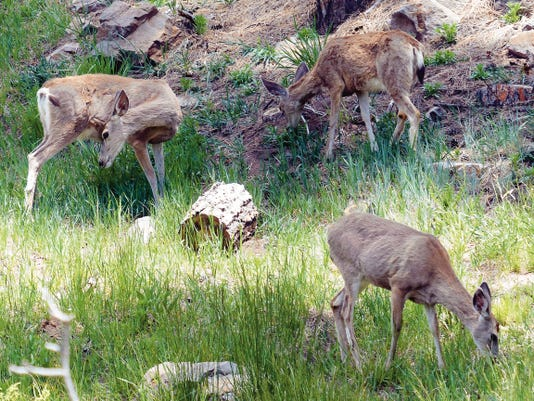 Some mule deer enjoy the vegetation growing in a drainage off Hull Road in Ruidoso.