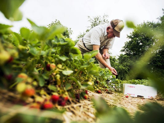 Charlie Naylor, 85, of Hanover, picks strawberries at Naylor's U-pick berry patch June 3 in the Biglerville area. Naylor was picking berries at his nephew's fruit farm to make strawberry shortcake. 'Grew up here in the mountains and used to roam the streets of Littlestown and sold them, eight boxes for 1,' said Naylor, who still sells peaches and apples from his Blettner Avenue home in Hanover in July.