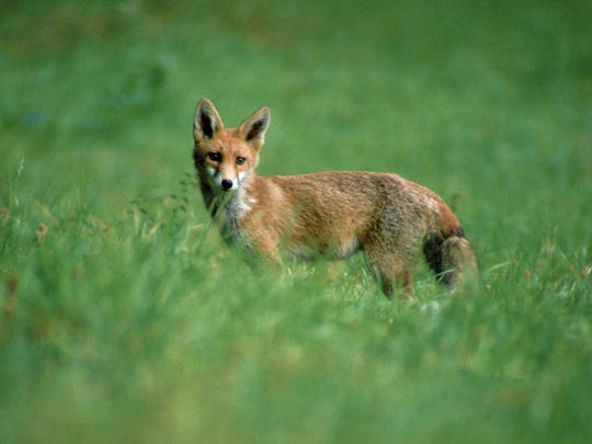 A red fox is one of the intended victims of the use
