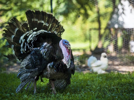 Achmed, a male turkey, roams the backyard of the Livelsberger home last month in New Oxford.  The Livelsbergers own 32 free range chickens and Achmed, the only turkey. Elisa Livelsberger says that avian influenza is a concern for her birds.
