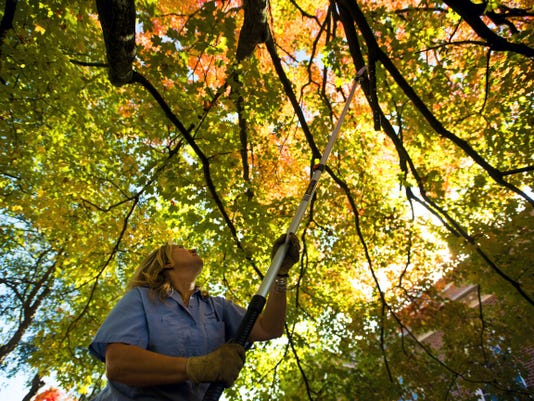 Deb Savidge, an arborist at Gettysburg College, cuts branches on a maple tree that's turning bright yellow Thursday. Savidge was trimming the trees with low branches for the safety of students and faculty.