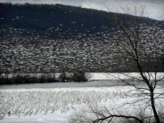 Snow geese take flight this week at Middle Creek Wildlife Management Area near Kleinfeltersville. Middle Creek officials estimated 130,000 snow geese, en route to Bylot Island in northwest Greenland, have stopped at Middle Creek Lake.