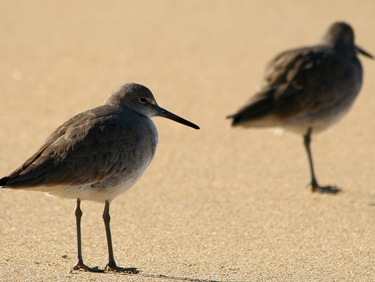 sandpipers on beach