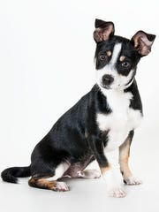 Mosley, 4-month-old male Chihuahua mix dog. No. 95108