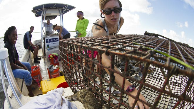 Sarah Bridenbaugh, a research assistant for the Sanibel Captiva Conservation Foundation Marine Laboratory, clears out scallops from a metal cage in Tarpon Bay as part of the foundation's scallop restoration program.