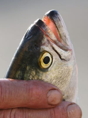 The FDA has approved genetically modified salmon.