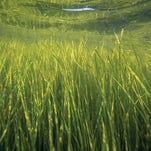 Chesapeake Bay grasses are bouncing back. Did humans help?