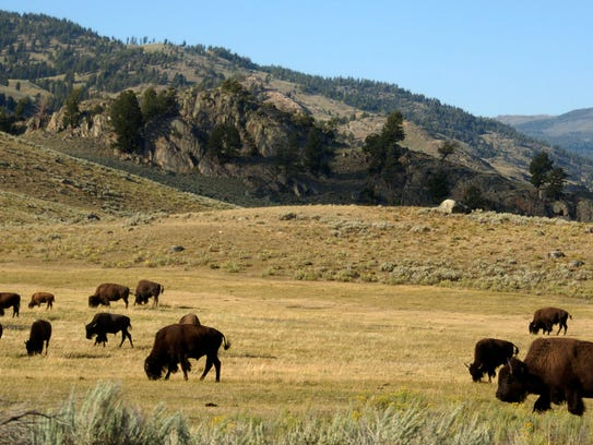 FILE - In this Aug. 3, 2016 file photo, a herd of bison