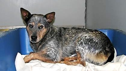Joanna is a 2 1/2-year-old blue heeler who is very obedient.