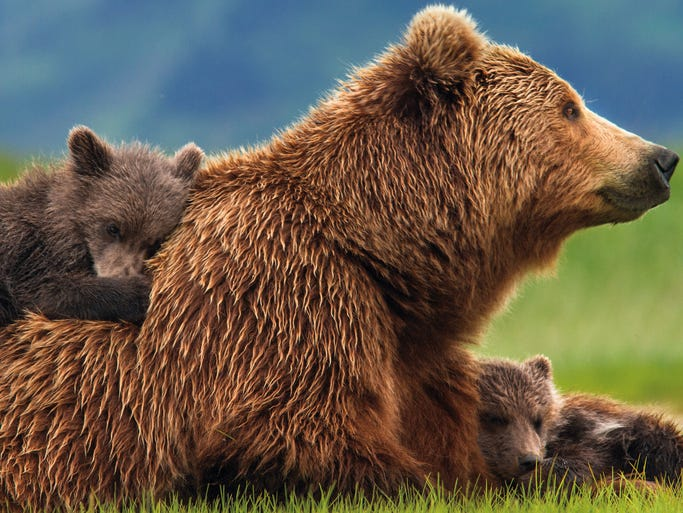 """You learn a lot about brown bears in the Disneynature film 'Bears,' due April 18, as it shows many aspects of the animal's life. But the overwhelming universal message is of a mother bear, Sky, protecting her two cubs, Amber and Scout. """"You can really relate to the struggle of the mother bear, Sky, in the film,"""" says narrator John C. Reilly. """"Parents will especially be surprised by how emotionally familiar and moving it is to watch her and her cubs try to make it in a tough world."""""""
