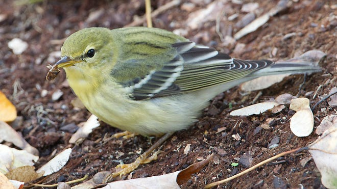 Birds that forage on the ground, such as this female blackpoll warbler, a migrant that will use an ecologically healthy yard as a pit stop during long migrations, can easily come into contact with applied pesticides.