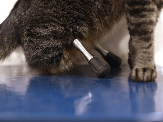 Vincent the cat has a pair of prosthetic hind legs that have enabled him to live a mobile life.  Iowa State University associate professor and veterinarian Dr. Mary Sarah Bergh has overseen Vincent's care and the implementation of his prosthetics during the last three years.