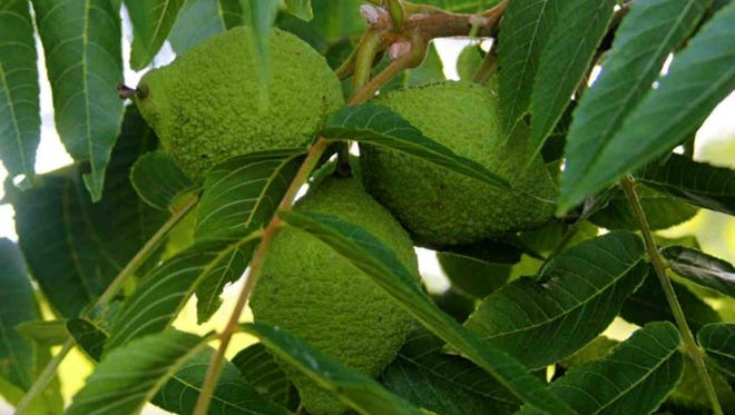 Black walnuts hang on the tree.