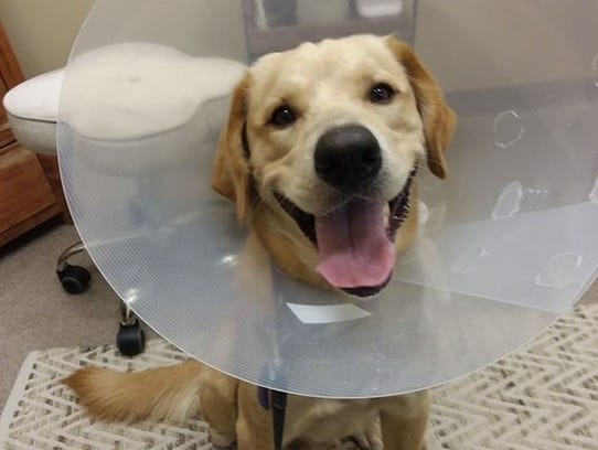 Charlie, a yellow Lab, was found after four days in