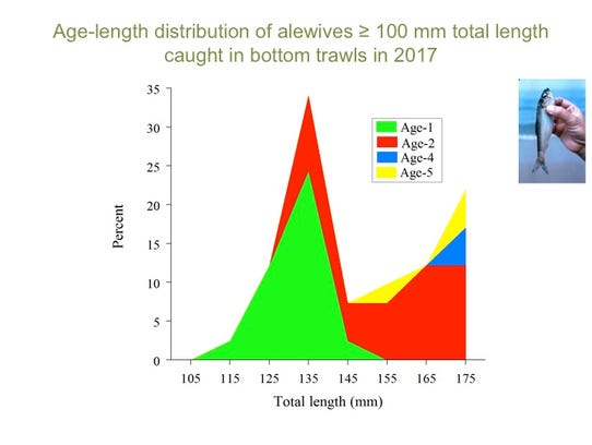 This graph shows the age distribution of alewife caught