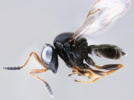 A Samurai wasp.