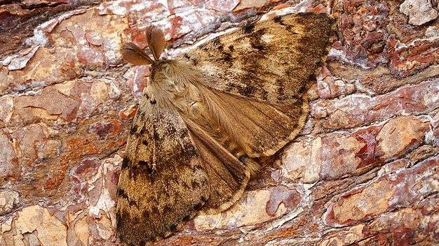 A gypsy moth.