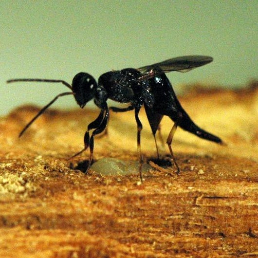 Oobius agrili is one of three species of parasitoid wasps from Asia released in Chili, Wheatland and Caledonia.
