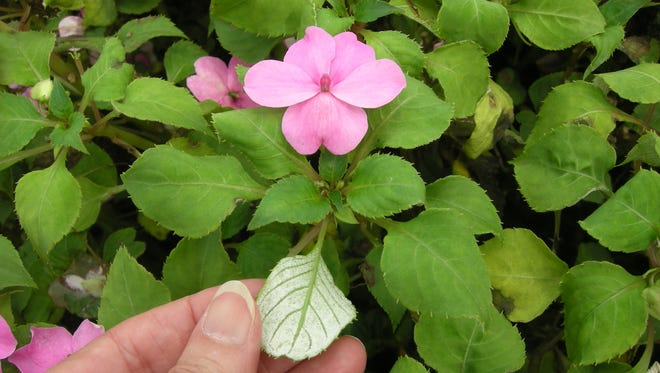 Early signs of the impatiens downy mildew include a white coating of the mildew spores on the undersides of infected leaves.