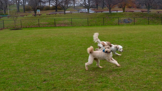 Pippi, in the bandana, and Butters play in the dog park in Staunton on Monday, Nov. 30, 2015 with owner Erin Blanton.