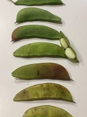 Butter beans are ready to harvest when the peas give the pod large lumps and the pod begins to lighten from dark green to lighter green.