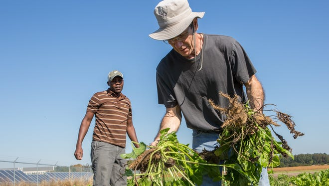 UMES Undergraduate student, Solomon Kipserem, left, and Chief Research officer fro Plant and Sensory Systems, Frank Turano, harvest sugar beets from a UMES test plot in Princess Anne on Monday, Oct. 17, 2016.  The sugar beets are currently being researched as an alternative ethanol source.