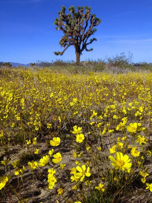 Joshua Tree in spring, Saddleback Butte State Park