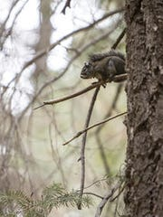 A Mount Graham red squirrel holds onto a tree branch in the Coronado National Forest.