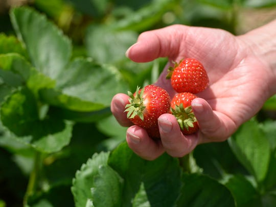 A handful of fresh strawberries are shown Thursday,