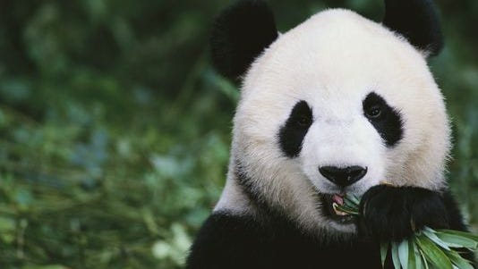 Giant Panda in the forest.