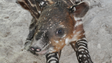 Tapirs are native to Central and South America and are in danger of extinction, due mainly to hunting and habitat loss.