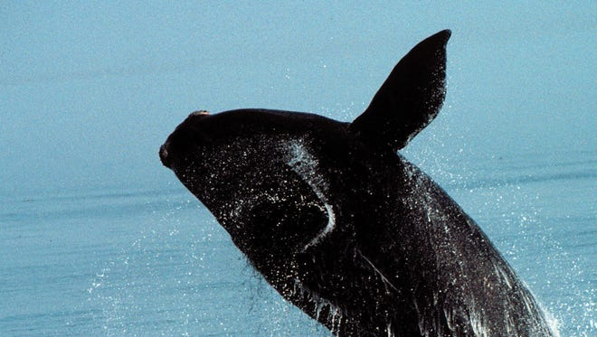 Right whales swim through major East Coast shipping lanes, making them highly vulnerable to ship collisions. A federal rule that protects the endangered species has been made permanent.   Florida Today file The Navy can build a range for submarine warfare off the coast of south Georgia and north Florida, a judge ruled. Environmentalists fear the site threatens endangered right whales. 2003 Florida Today file -  -Published caption:-  -   Whale know-how - It is illegal to approach a northern right whale closer than 500 yards, or 1,500 feet. To report a right whale sighting, call MRC's northern right whale hot line at (888) 97-WHALE.-  -Photographer's caption:-  -Text:  Credit: Moira Brown, New England Aquarium  Credit: Chris Slay, New England Aquarium  Credit: Chris Slay, New England Aquarium  Credit: Beth Pike: New England Aquarium  Credit: New England Aquarium