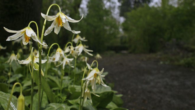 Native flower Erythronium fill the forest at Deepwood Estates in the spring.