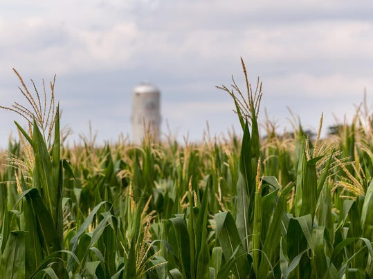 Corn crop flowers with silo in distance