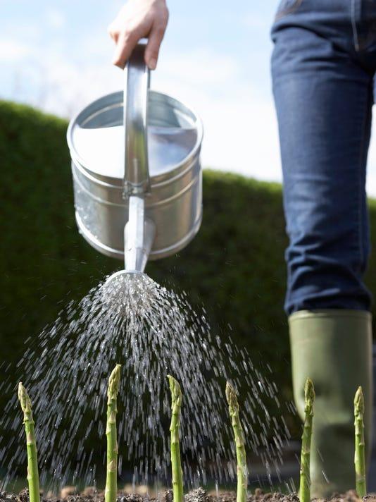 Watering asparagus in field