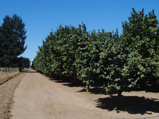 Oregon is home to around 800 hazelnut growers and accounts