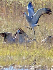 A minor disagreement erupts between sandhill cranes at one of the marshy areas where they feed in the Boasque del Apache National Wildlife Refuge.