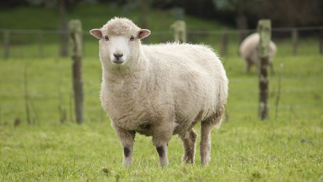 Sheep file photo.
